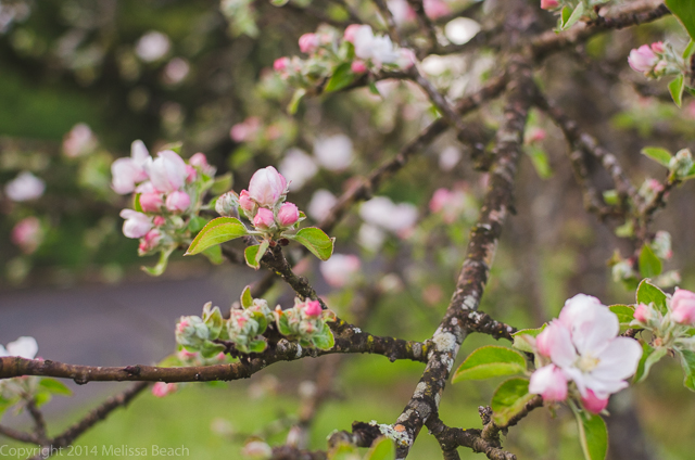 AppleBlossoms_MelissaBeach-2